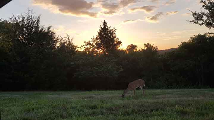 A photo of a whitedail deer grazing in the grass here at Indian Point